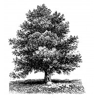 "Old Tree Engraving (2.5"" x 3.5"")"